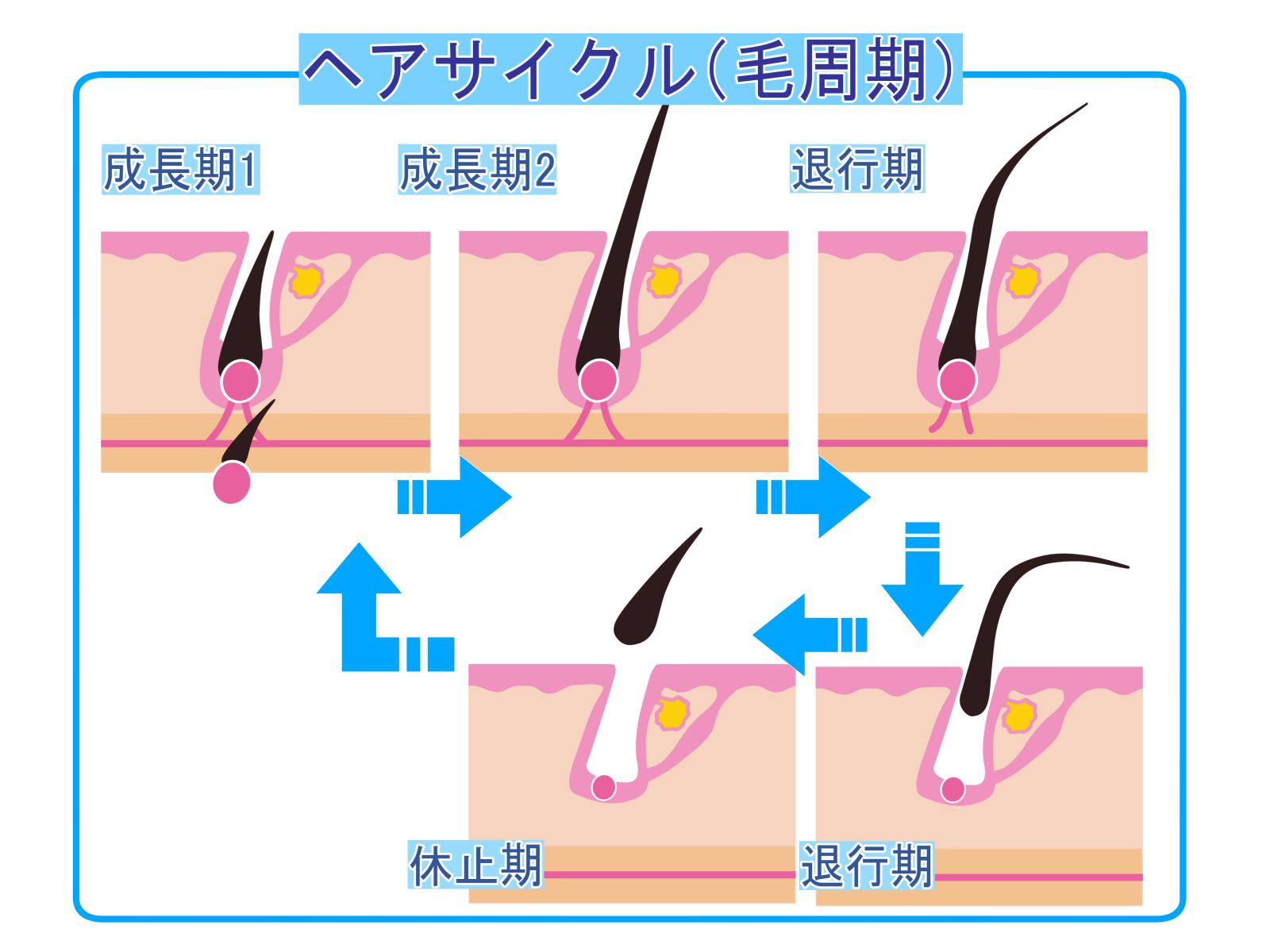 AGA 正常なヘアサイクル